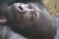 Baby gorilla at the Philadelphia Zoo makes headlines