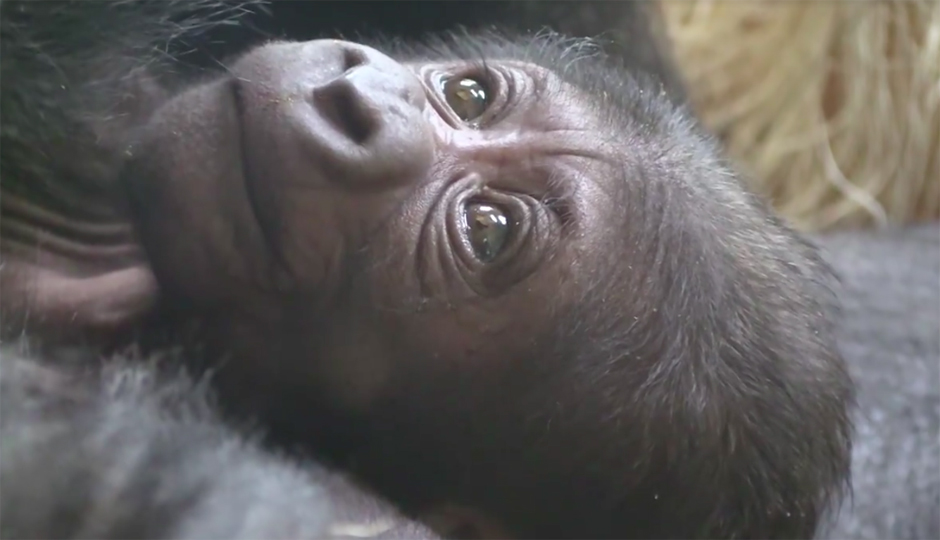 Philadelphia+Zoo+gorilla%2C+Kira%2C+finally+gives+birth+to+her+baby+after+a+long+pregnancy+process.+